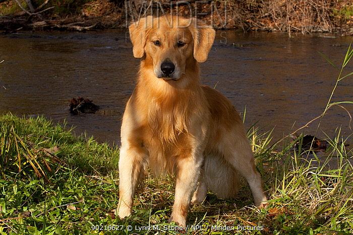 Male Golden Retriever standing beside stream, Illinois, USA  -  Lynn M. Stone/ npl