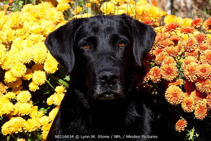 Portrait of black Labrador Retriever by chrysanthemum flowers, Connecticut, USA  -  Lynn M. Stone/ npl