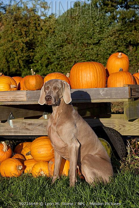 Weimaraner with pumpkins, Connecticut, USA  -  Lynn M. Stone/ npl