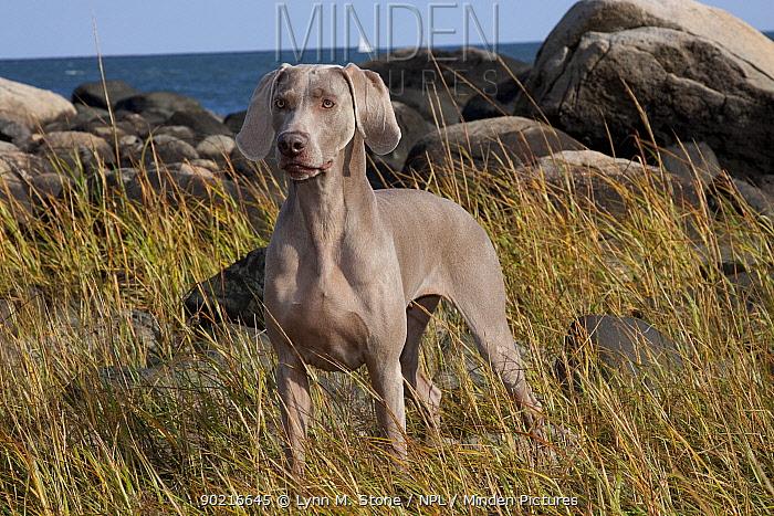 Weimaraner standing in beach grass, rocks at edge of Long Island Sound, Connecticut, USA  -  Lynn M. Stone/ npl