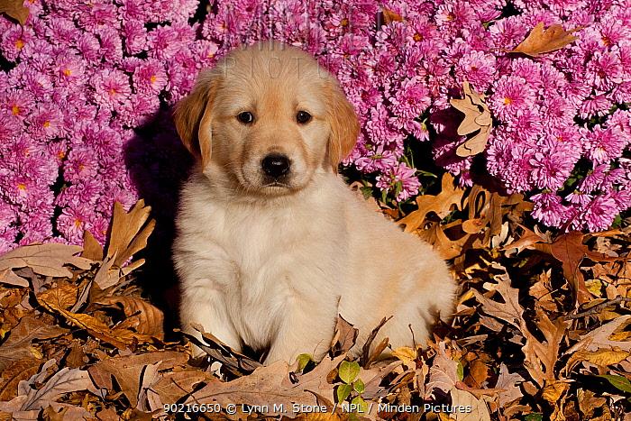Golden Retriever puppy amongst autumn leaves and Chrysanthemum flowers, Illinois, USA  -  Lynn M. Stone/ npl