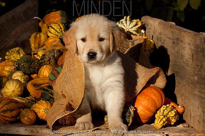 Golden Retriever puppy, 6 weeks, amongst gourds, Illinois, USA  -  Lynn M. Stone/ npl