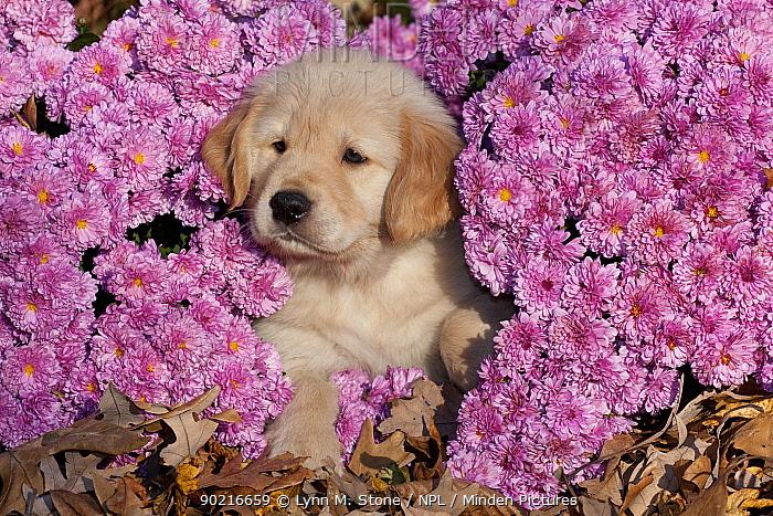 Golden Retriever puppy, 6 weeks, amongst Chrysanthemum flowers, Illinois, USA  -  Lynn M. Stone/ npl