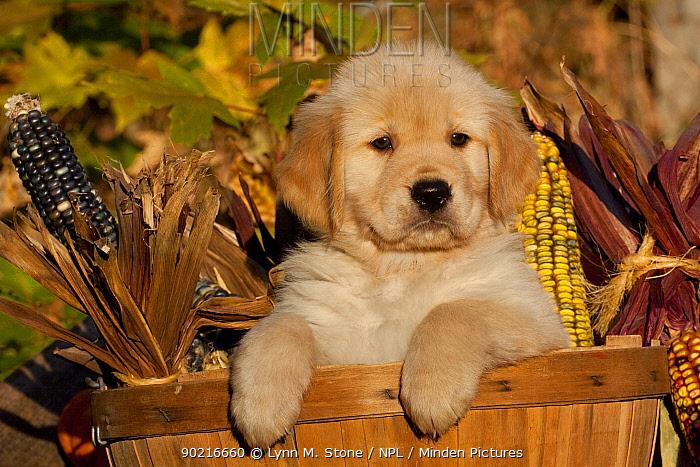Golden Retriever puppy, 6 weeks, in basket amongst corn cobs, Illinois, USA  -  Lynn M. Stone/ npl