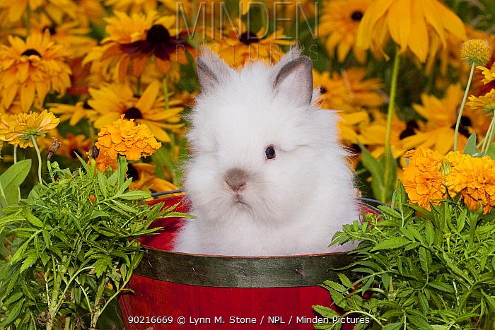 Domestic Lions-Head Rabbit, juvenile with Black eyed susan flowers, Illinois, USA  -  Lynn M. Stone/ npl