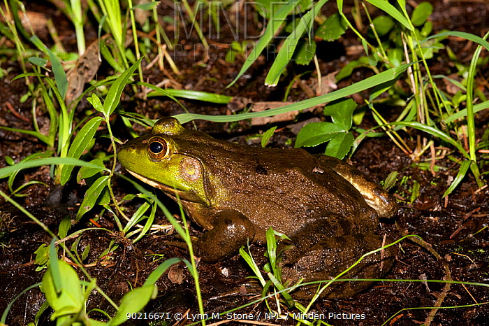 Bullfrog (Rana catesbeiana) on edge of pond, Connecticut, USA  -  Lynn M. Stone/ npl