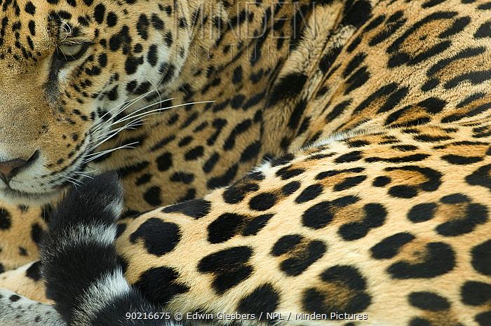 Jaguar (Panthera onca) portrait, lying down, captive  -  Edwin Giesbers/ npl