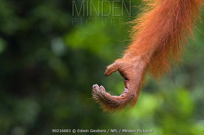 Orang utan hand (Pongo pygmaeus) Semengoh Nature reserve, Sarawak, Borneo, Malaysia, Endangered  -  Edwin Giesbers/ npl