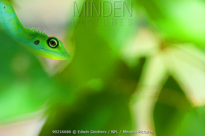 Green Crested Lizard (Bronchocela cristatella) camouflaged in green vegetation, Sarawak, Borneo, Malaysia  -  Edwin Giesbers/ npl