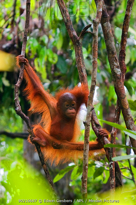 Orang utan (Pongo pygmaeus) baby climbing in branches of tree, Semengoh Nature reserve, Sarawak, Borneo, Malaysia, Endangered  -  Edwin Giesbers/ npl
