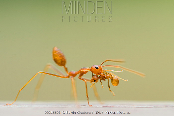Two Fire ant (Solenopsis sp) workers, one carrying the other in its jaws  -  Edwin Giesbers/ npl