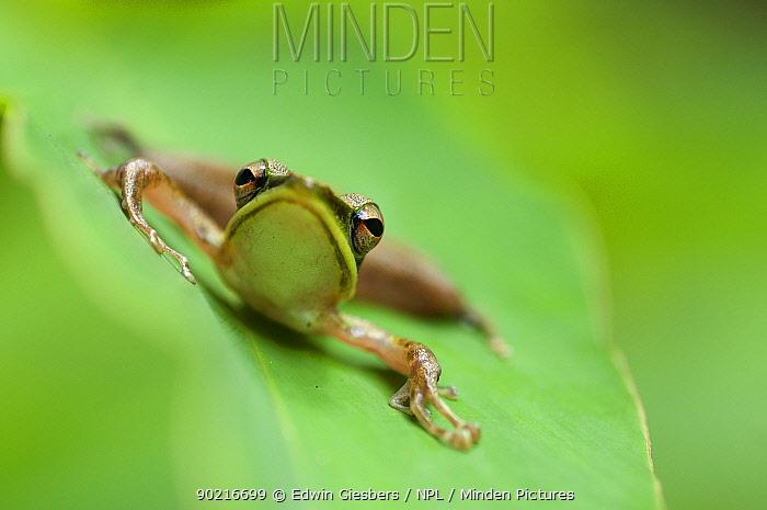 Schlegel's frog (Hydrophylax chalconotus) portrait at rest on leaf, Sarawak, Borneo, Malaysia  -  Edwin Giesbers/ npl