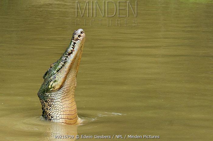 Saltwater crocodile (Crocodylus porosus) with head raised out of water, Sarawak, Borneo, Malaysia  -  Edwin Giesbers/ npl