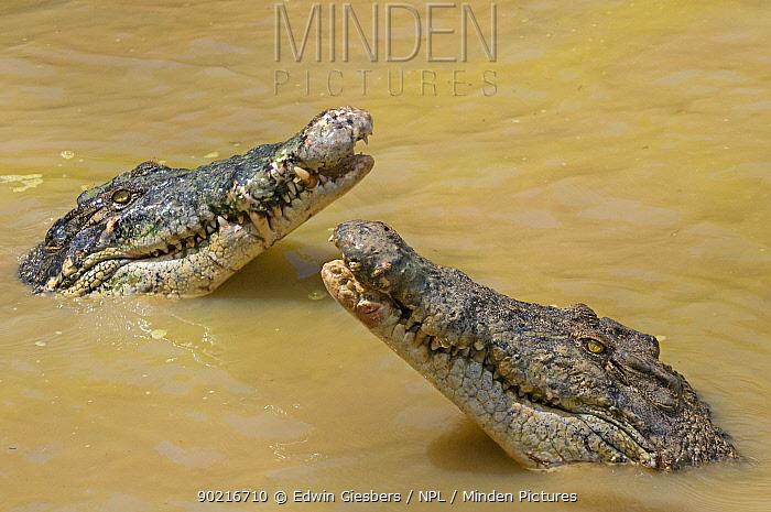 Two Saltwater crocodiles (Crocodylus porosus) with heads raised out of water, Sarawak, Borneo, Malaysia  -  Edwin Giesbers/ npl