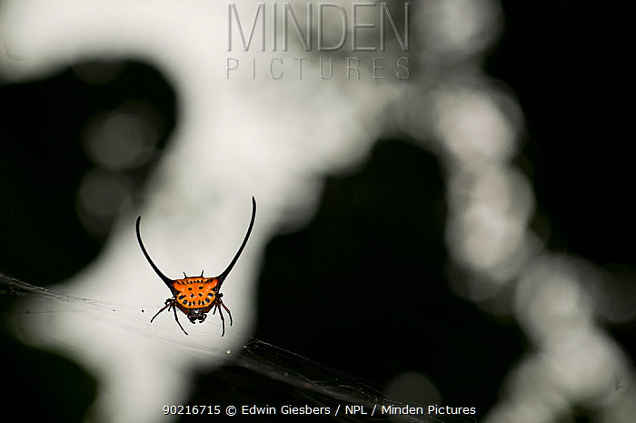 Thorn Spider (Gasteracantha arcuata) ion web, Borneo, Sarawak Borneo, Malaysia  -  Edwin Giesbers/ npl