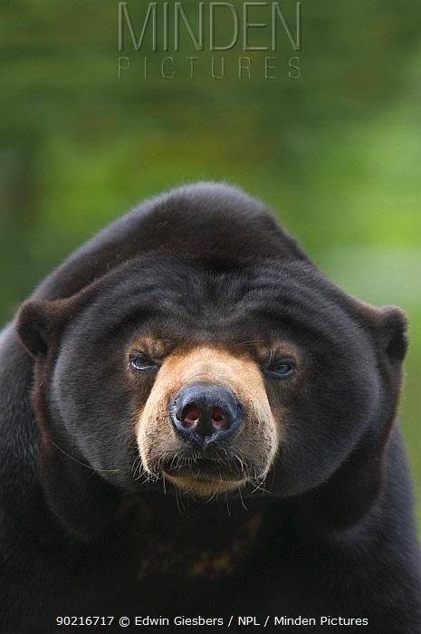 Malayan Sun Bear (Ursus malayanus) head portrait Capitve, native to southeast Asia Vulnerable  -  Edwin Giesbers/ npl