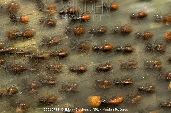 Termites (Hospitalitermes sp) colony moving over ground, Sarawak, Borneo, Malaysia  -  Edwin Giesbers/ npl