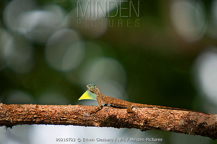 Flying Dragon, Lizard (Draco volans) with throat pouch extended, standing on tree branch, Sarawak, Borneo, Malaysia  -  Edwin Giesbers/ npl