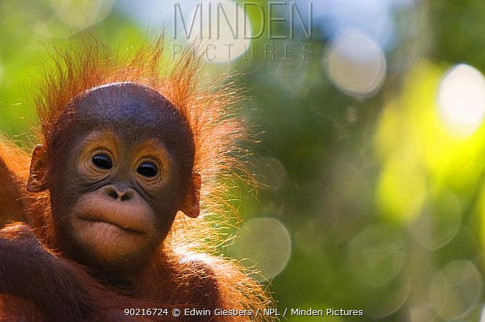 Orang utan baby (Pongo pygmaeus) head portrait of baby, Semengoh Nature reserve, Sarawak, Borneo, Malaysia Endangered  -  Edwin Giesbers/ npl
