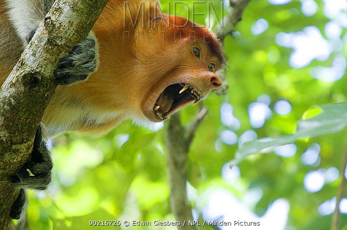 Proboscis Monkey (Nasalis larvatus) head portrait of female, showing teeth in aggressive manner, Bako National Park, Sarawak, Borneo, Malaysia  -  Edwin Giesbers/ npl