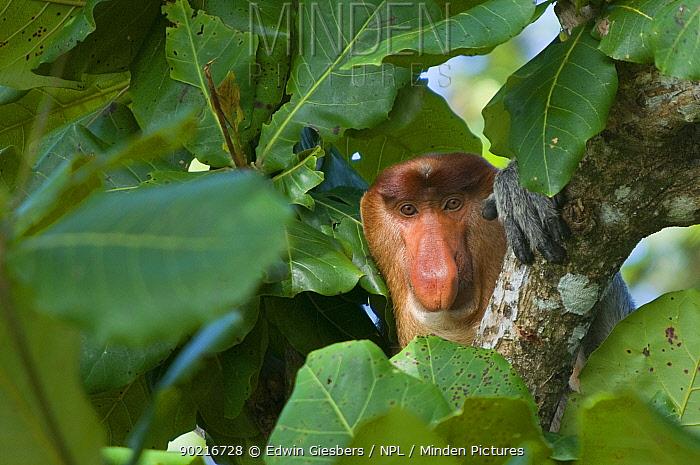 Proboscis Monkey (Nasalis larvatus) male head portrait, sitting in tree, Bako National Park, Sarawak, Borneo, Malaysia  -  Edwin Giesbers/ npl