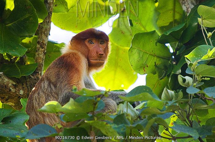 Proboscis Monkey (Nasalis larvatus) female sitting in tree, Bako National Park, Sarawak, Borneo, Malaysia  -  Edwin Giesbers/ npl