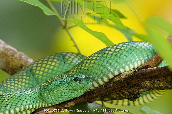 Wagler's, Temple pit viper (Tropidolaemus wagleri) close-up, coiled on branch, Bako National Park, Sarawak, Borneo, Malaysia  -  Edwin Giesbers/ npl