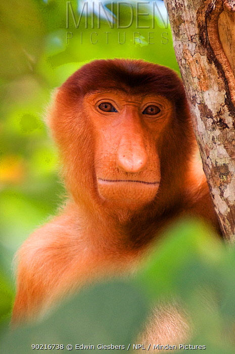 Proboscis Monkey (Nasalis larvatus) juvenile male head portrait, Bako National Park, Sarawak, Malaysia, Borneo  -  Edwin Giesbers/ npl