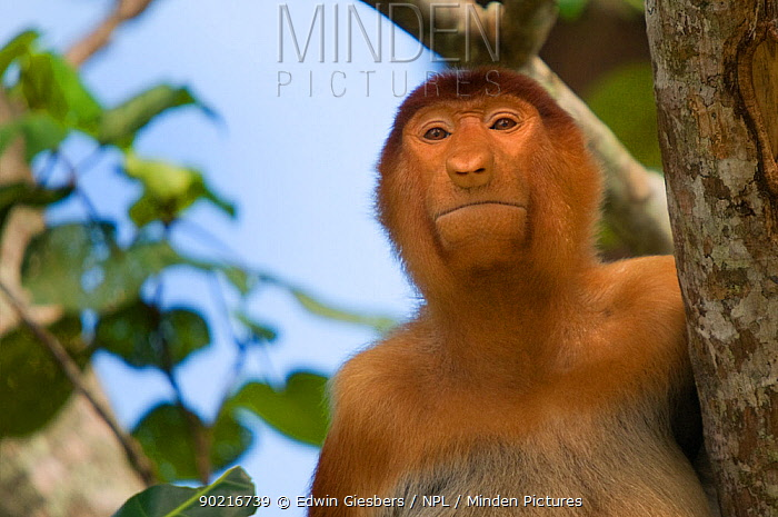 Proboscis Monkey (Nasalis larvatus) juvenile male portrait, sitting in a tree, viewed from below, Bako National Park, Sarawak, Malaysia, Borneo  -  Edwin Giesbers/ npl