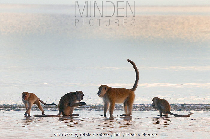 Four Long-tailed, Crab-eating macaques (Macaca fascicularis) foraging on coastline in shallow water with waves, Bako National Park, Sarawak, Borneo, Malaysia  -  Edwin Giesbers/ npl