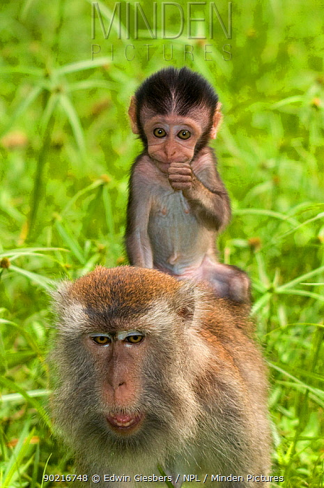Long-tailed, Crab-eating macaque (Macaca fascicularis) baby riding on back of an adult, Bako National Park, Sarawak, Borneo, Malaysia  -  Edwin Giesbers/ npl