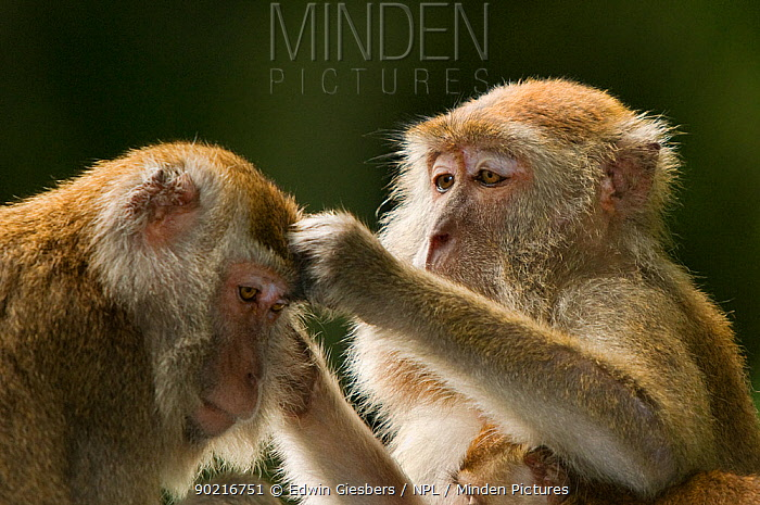 Two Long-tailed, Crab-eating macaques (Macaca fascicularis) one grooming the other, Bako National Park, Sarawak, Borneo, Malaysia  -  Edwin Giesbers/ npl