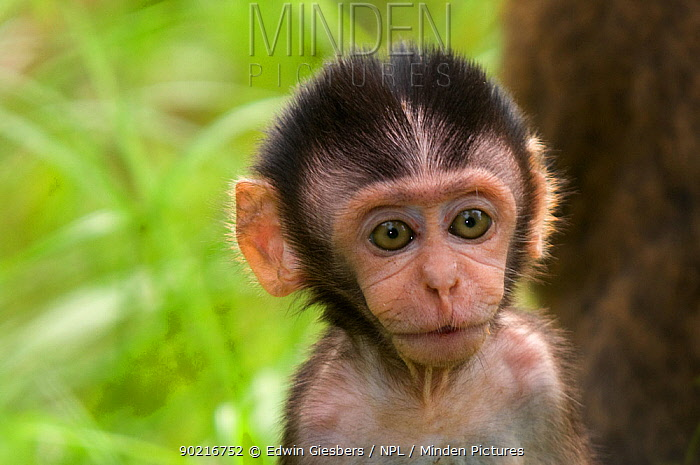Long-tailed, Crab-eating macaque (Macaca fascicularis) head portrait of baby, Bako National Park, Sarawak, Borneo, Malaysia  -  Edwin Giesbers/ npl
