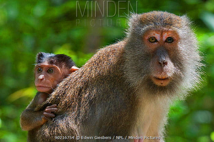 Long-tailed, Crab-eating macaque (Macaca fascicularis) baby riding on back of adult, Bako National Park, Sarawak, Borneo, Malaysia  -  Edwin Giesbers/ npl