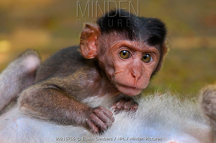 Two Long-tailed, Crab-eating macaques (Macaca fascicularis) head portrait of baby, lying on chest of adult, Bako National Park, Sarawak, Borneo, Malaysia  -  Edwin Giesbers/ npl