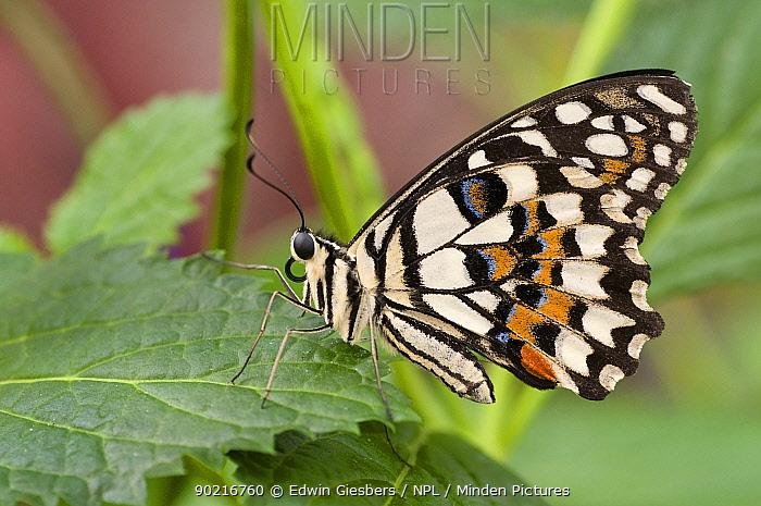 Lemon, Common lime swallowtail butterfly (Papilio demoleus) at rest on leaf  -  Edwin Giesbers/ npl