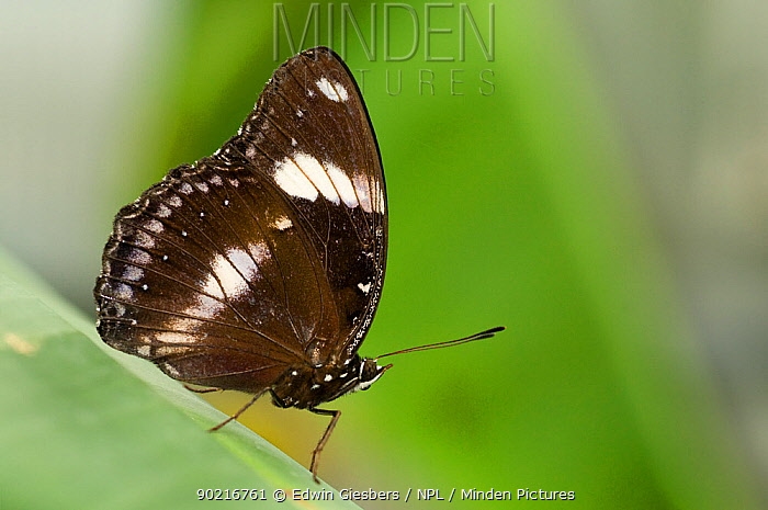 Clipper butterfly (Parthenos sylvia) at rest on leaf  -  Edwin Giesbers/ npl