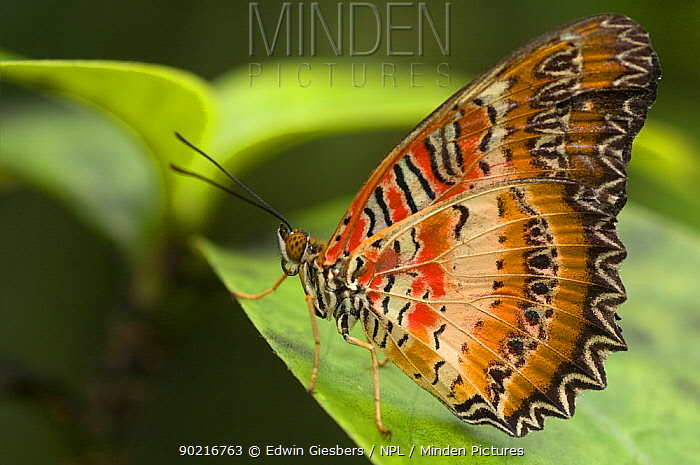 Red Lacewing butterfly (Cethosia biblis) at rest on leaf, Borneo, Sarawak, Malaysia  -  Edwin Giesbers/ npl