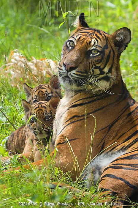 Sumatran tiger (Panthera tigris sumatrae) mother lying down with two cubs aged two months, captive  -  Edwin Giesbers/ npl