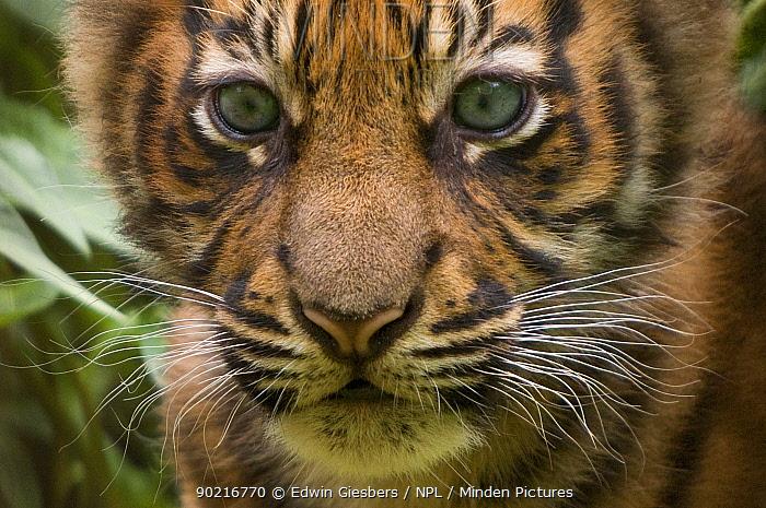 Sumatran tiger (Panthera tigris sumatrae) head portrait of male cub aged two months, captive  -  Edwin Giesbers/ npl