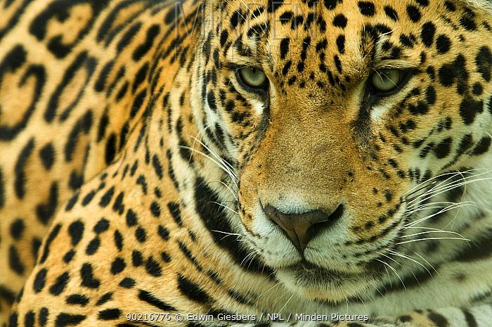Jaguar (Panthera onca) head portrait, captive  -  Edwin Giesbers/ npl