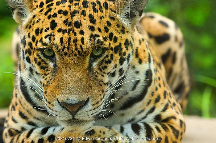 Jaguar (Panthera onca) close-up head portrait, lying down, captive  -  Edwin Giesbers/ npl