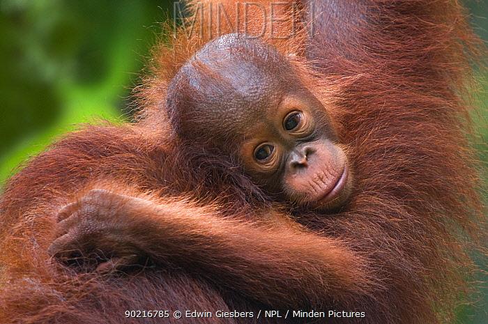 Orang utan (Pongo pygmaeus) head portrait of baby, Semengoh Nature reserve, Sarawak, Borneo, Malaysia, Endangered  -  Edwin Giesbers/ npl