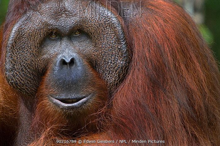 Orang utan (Pongo pygmaeus) head portrait of dominant male called Richie, Semengoh Nature reserve, Sarawak, Borneo, Malaysia, Endangered  -  Edwin Giesbers/ npl