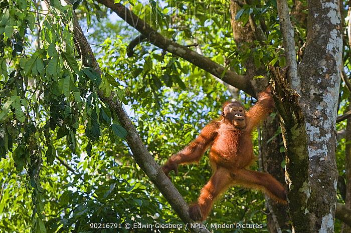 Orang utan (Pongo pygmaeus) climbing in branches of tree, Semengoh Nature reserve, Sarawak, Borneo, Malaysia, Endangered  -  Edwin Giesbers/ npl