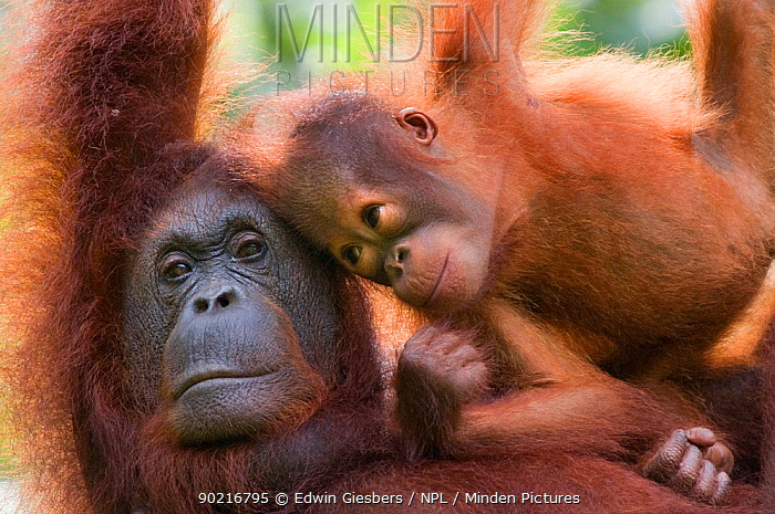 Orang utan (Pongo pygmaeus) portrait of mother and baby, Semengoh Nature reserve, Sarawak, Borneo, Malaysia, Endangered  -  Edwin Giesbers/ npl