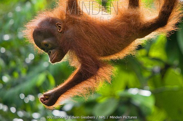 Orang utan (Pongo pygmaeus) baby climbing in trees, Semengoh Nature reserve, Sarawak, Borneo, Malaysia, Endangered June  -  Edwin Giesbers/ npl