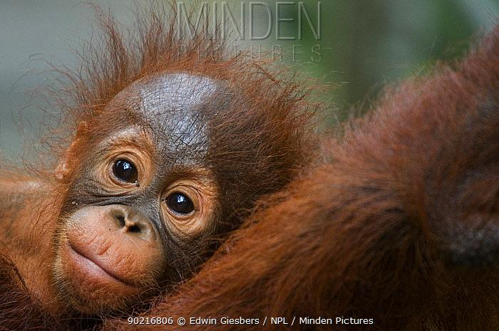 Orang utan baby (Pongo pygmaeus) head portrait, lying against adult, Semengoh Nature reserve, Sarawak, Borneo, Malaysia, Endangered  -  Edwin Giesbers/ npl
