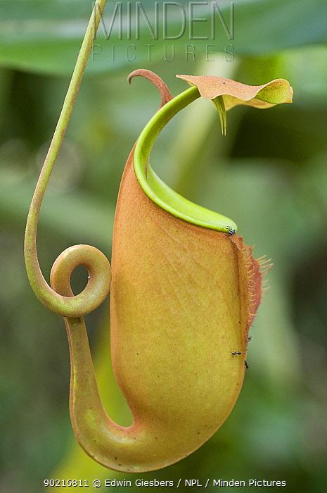 Fanged pitcher plant (Nepenthes bicalcarata) Sarawak, Borneo, Malaysia  -  Edwin Giesbers/ npl