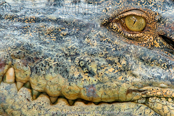 Saltwater crocodile (Crocodylus porosus) close up of teeth and eye, Sarawak, Borneo, Malaysia  -  Edwin Giesbers/ npl